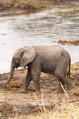 Elephant Baby — Stock Photo