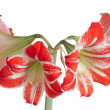 Royalty-Free Stock Photo: Gippeastrum, Amaryllis (Latin Hippeastrum, Amaryllis)