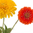 Foto Stock: Flower of zinni(Lat. Zinnia)