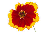 Flower of coreopsis (Lat. Coreopsis drummondii) — Stock Photo