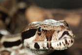 Python, not venomous snake (Latin Pythonidae) — Stock Photo