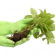 Human hands and young plant — Stock Photo