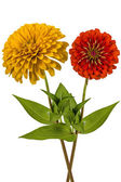 Flowers of zinnia (Lat. Zinnia), isolated on a white background — Stok fotoğraf