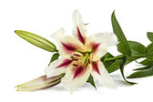 Flowers lily, lat. Lilium Oriental Hybrids, isolated on white ba — Stock Photo
