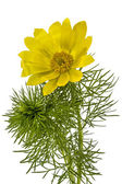 Flowers of Adonis, lat. Adonis vernalis, isolated on white backg — Stock Photo