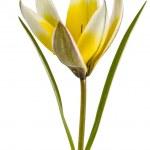 Botanik Lale çiçeği, lat.tulipa botanik, izole WHI — Stok fotoğraf #49445149