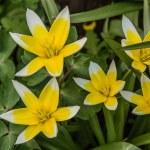 цветок тюльпан ботанический ботанический, lat.tulipa — Стоковое фото #49445251