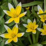 Flower of tulip botanical, lat.Tulipa botanical — Stok fotoğraf #49445251