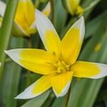 Flower of tulip botanical, lat.Tulipa botanical — Stok fotoğraf #49445363