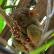 Tarsier — Stock Photo #20992065