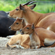 Banteng — Stock Photo