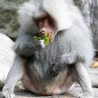 Baboon — Stock Photo #13151841