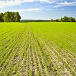 Young crops — Stock Photo