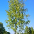 Birches — Stockfoto #18899399