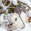 Stock Photo: White rabbit