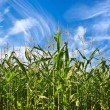 Royalty-Free Stock Photo: Corn plantation