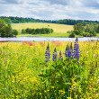 Lupines and buttercups — Stock Photo