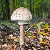 The Parasol Mushroom (Macrolepiota procera) — Stock Photo