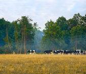 Rebaño de vacas — Foto de Stock