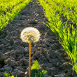 Alone dandelion - Stock Photo