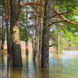 Edge of pine forest flooded with spring overflow - Stock Photo