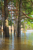 Edge of pine forest flooded with spring overflow — Stock Photo