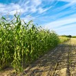 Corn crops — Stock Photo