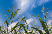 Corn plants against sky — Stock Photo