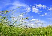 Timothy grass — Stock Photo