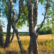Trunks of birches - Stock Photo