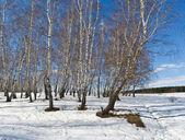 Birchwood in spring — Stock Photo