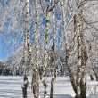 Birches in winter. — Stock Photo