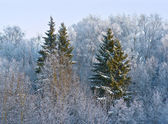 Forest шт winter — Stock Photo