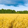 Footpath in a barley field — Stock Photo