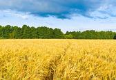 Footpath in a barley field — Stock Photo