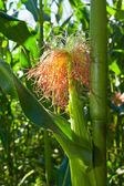 Maize (Zea mays) — Stock Photo