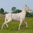 Young Akhal-Teke horse — Stock Photo