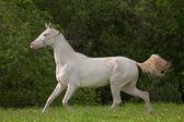 Young Akhal-Teke horse — Stock Photo