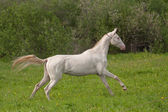 Young Akhal-Teke mare — Stock Photo