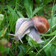 Helix pomatia — Stock Photo