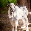 Male goat — Stock Photo