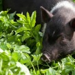 Young female pig — Stock Photo