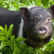 Young female pig — Stock Photo #28259923