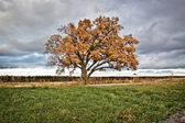 Bicentennial oak tree — Stock Photo
