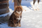 Nenets Husky — Stock Photo