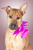 Dog with bow — Stock Photo