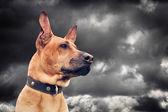 červený pes — Stock fotografie