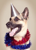Elzasser hond — Stockfoto