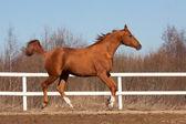 Don breed horse — ストック写真