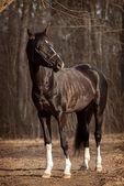 Trakehner stallion  — Stock Photo
